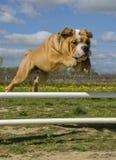 bulldoggbanhoppning arkivfoto