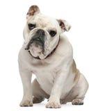Bulldogge, 10 Monate alte, sitzend Stockbild