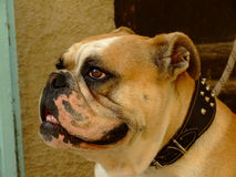 Bulldogge Stockbild