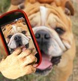 bulldogge Stockfoto