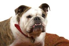 Bulldogge Stockfotografie