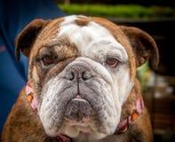 Bulldogge an der Haustier-Show Stockfoto