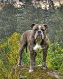 Bulldogge, die auf einem Stein in HDR aufwirft lizenzfreies stockfoto