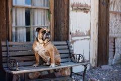 Bulldogge, die auf einer Bank sitzt Stockfotos