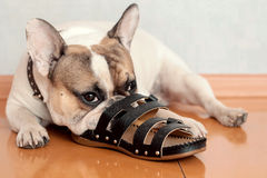 Bulldogge, die auf Pantoffeln kaut Stockfotografie