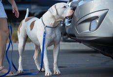 Bulldogge, die den Geruch findet lizenzfreies stockbild