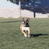 Bulldogge, die ein Spielzeug mit seinen Ohren oben nachläuft Lizenzfreies Stockfoto