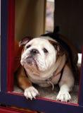Bulldogge, die einen Kuss wartet Lizenzfreies Stockbild