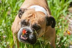Bulldogge, die stoppt, um die Blumen zu riechen Lizenzfreie Stockfotografie