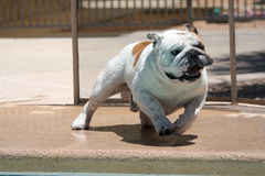 Bulldogge, die um das Pool läuft Lizenzfreies Stockbild