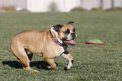 Bulldogge, die ungefähr eine Scheibe nachläuft, um sie zu fangen Lizenzfreie Stockfotos