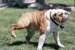 Bulldogge, die weg vom Wasser und vom Haar rüttelt Lizenzfreies Stockbild