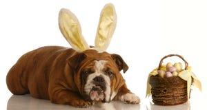 Bulldogge gekleidet als Osterhase lizenzfreie stockbilder