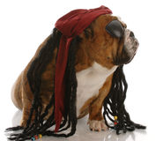 Bulldogge gekleidet als Pirat lizenzfreies stockbild
