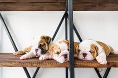 Bulldogge mit drei ausgezeichnete Welpe Englisch stockfotos