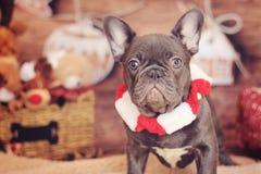 Bulldogge mit Schal Stockbilder