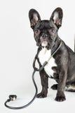 Bulldogge mit Stethoskop um seinen Hals Lizenzfreie Stockbilder