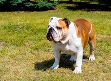 Bulldogge schaut beiseite Lizenzfreies Stockbild