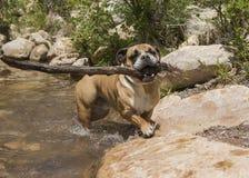 Bulldogge und ein großer Stock Lizenzfreies Stockbild