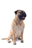 Bulldoggehund lizenzfreies stockfoto