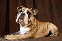 Bulldoggelächeln Stockfotos