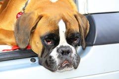 Bulldoggen är vänlig och gladlynt arkivfoton
