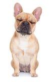 bulldoggen lismar fransman Arkivfoton