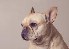 bulldoggen lismar fransman Arkivbilder