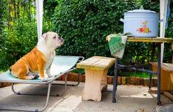 Bulldoggen mediterar på en stor kruka Royaltyfri Bild