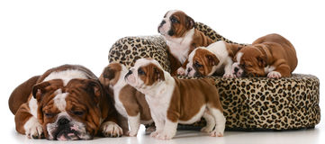 Bulldoggenfamilie lizenzfreies stockbild