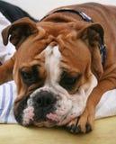 bulldoggengelska Arkivbilder