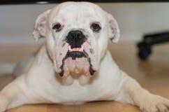 bulldoggengelska Arkivbild