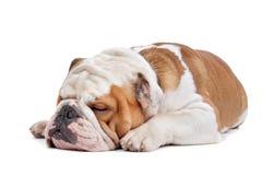 bulldoggengelska Fotografering för Bildbyråer