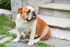 bulldoggengelska Royaltyfri Foto