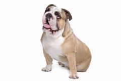 bulldoggengelska Royaltyfria Foton