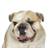 bulldoggengelska Royaltyfri Bild