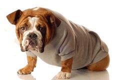 bulldoggengelska som fungerar ut royaltyfri fotografi