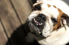 bulldoggengelska som ser upp Arkivbilder