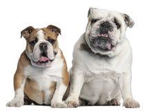 bulldoggengelska som sitter två Royaltyfria Bilder