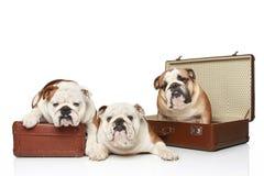 bulldoggengelska tre Arkivfoto