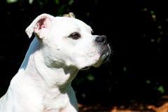 bulldoggengelskastående Royaltyfria Foton