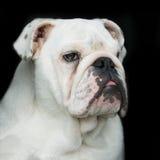 bulldoggengelskastående arkivbild