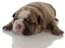 bulldoggengelskavalp Fotografering för Bildbyråer