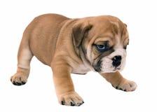 bulldoggengelskavalp Royaltyfri Foto