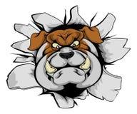 Bulldoggenmaskottchen, das heraus zertrümmert Lizenzfreies Stockfoto