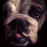Bulldoggenporträt Lizenzfreie Stockfotografie