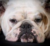 Bulldoggenporträt Stockfotografie
