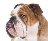 Bulldoggenporträt Stockfoto