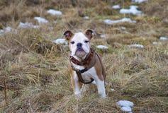 Bulldoggenwelpe lizenzfreies stockfoto