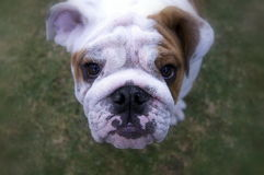 Bulldoggenwelpe Lizenzfreies Stockbild